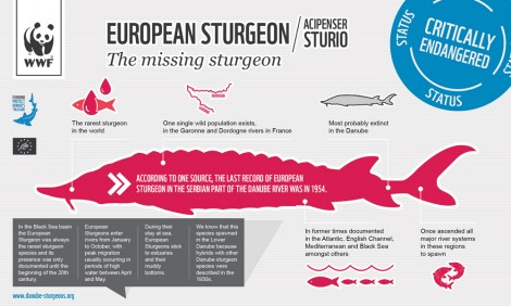 Infographic: European sturgeon (Acipenser sturio)