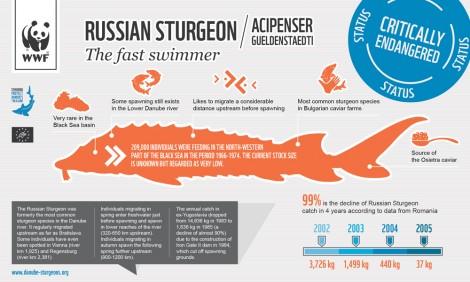 Infographic: Russian sturgeon (Acipenser gueldenstaedti)