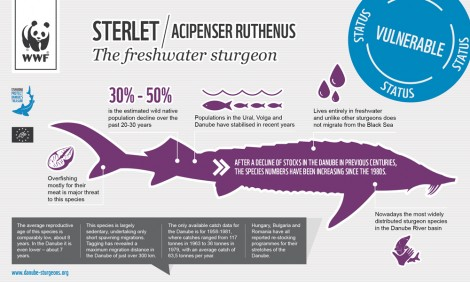 Steret Sturgeon (acipenser ruthenus)