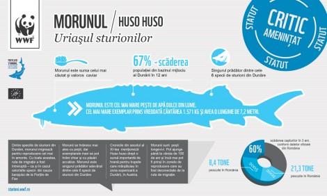 Infographic: Morunul (Huso huso)
