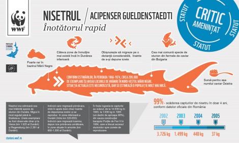 Infographic: Nisetrul (Acipenser gueldenstaedti)