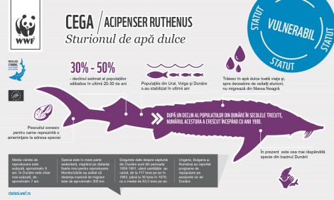 Infographic: Cega (Acipenser ruthenus)