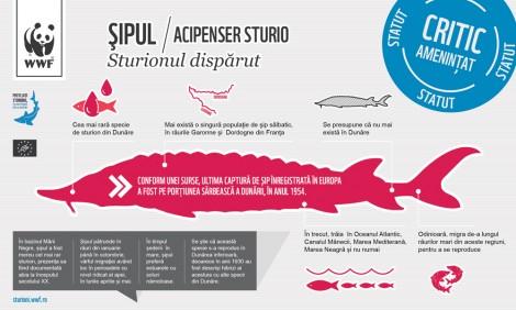 Infographic: Şipul (Acipenser sturio)